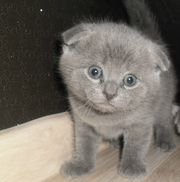 шотландский котенок мальчик вислоушка