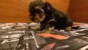 щенок Йоркширского терьера